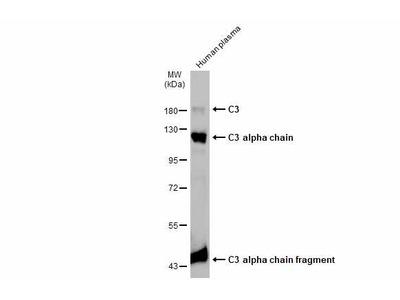 Anti-C3 / C3b antibody [C3], C-term