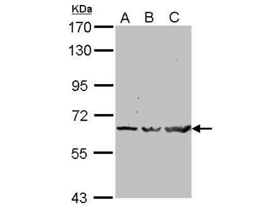 Anti-TRAF6 antibody [N2C2], Internal