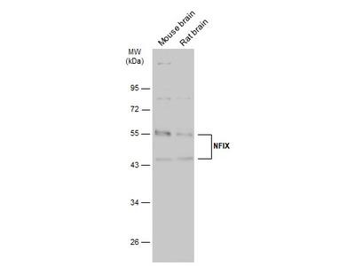 Anti-NFIX antibody [N3C3]