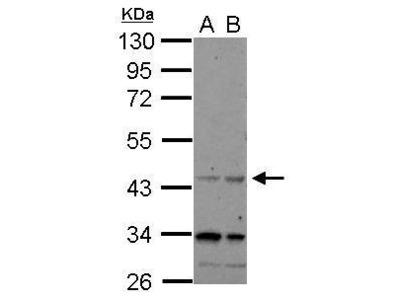 Anti-CHRFAM7A antibody [N1N3]