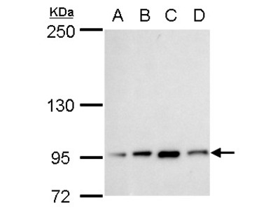 Anti-Transcription Termination Factor 1 antibody