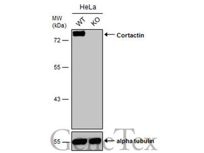 Anti-Cortactin antibody