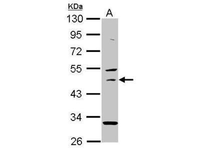 Anti-USH1G antibody [N2C2], Internal