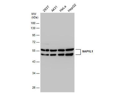 Anti-NAP1L1 antibody