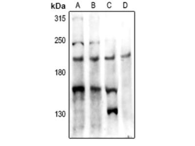 Anti-PTP kappa antibody