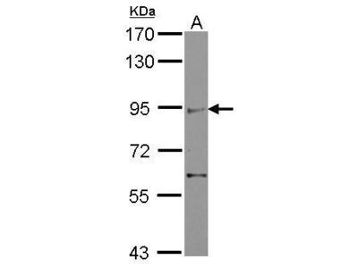 Anti-ZMIZ2 antibody [C1C3]