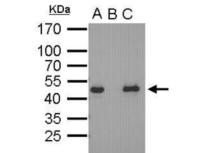 Great Oct4 Antibody from GeneTex for Western Blot