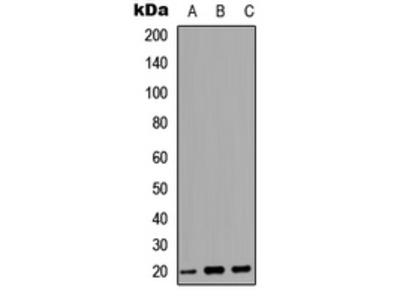 Anti-MARCKSL1 antibody