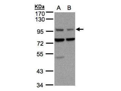 Anti-AXIN1 antibody [C3], C-term