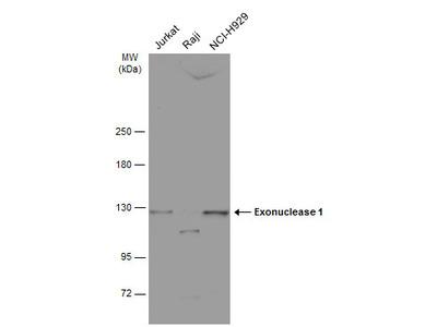 Anti-Exonuclease 1 antibody