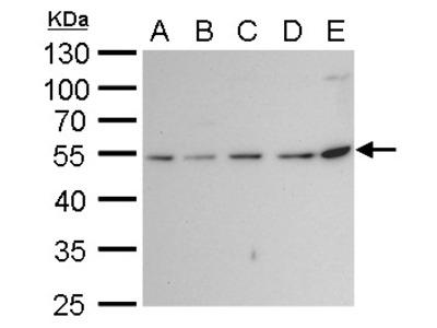 Anti-beta Tubulin 2 antibody