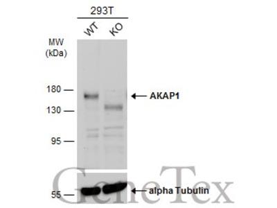 Anti-AKAP1 antibody [C2C3], C-term