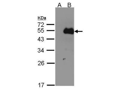 Anti-NFIB antibody [N1C2]