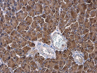 Anti-AFG3L2 antibody [N1N2], N-term
