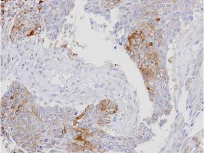 Anti-RanBP16 antibody [C2C3], C-term