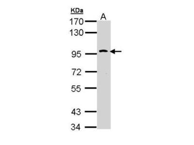 Anti-CD290 / TLR10 antibody [C2C3], C-term