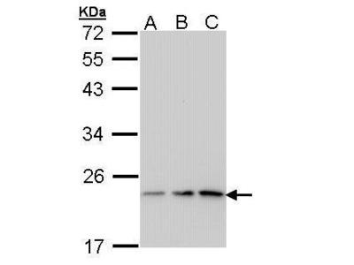 Anti-p23 antibody [N1C3-2]