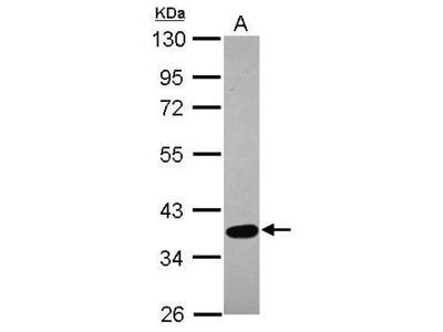 Anti-SPOCK3 antibody [N2C3]