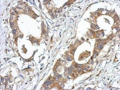 Anti-GPRASP2 antibody [C2C3], C-term