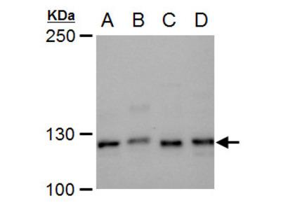 Anti-XPF antibody
