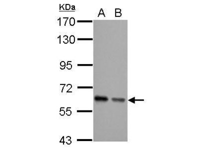Anti-AKT antibody [N3C2], Internal