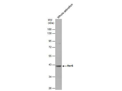 Anti-Her6 antibody