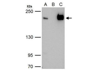 Anti-TAF172 antibody [C3], C-term