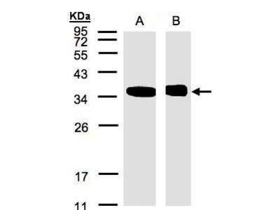 Anti-N-myc interactor antibody [N1C3]