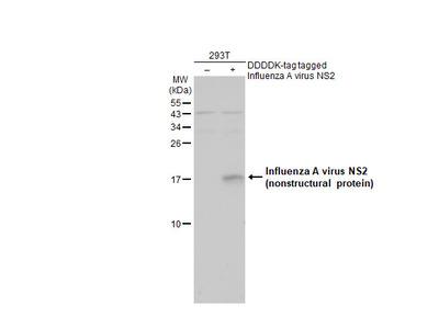 Anti-Influenza A virus NS2 / NEP antibody