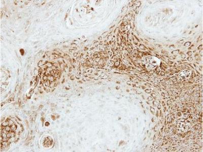 Anti-SEC23A antibody [N1C1]