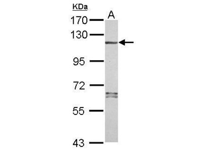 Anti-NLRP7 antibody [N3C2], Internal