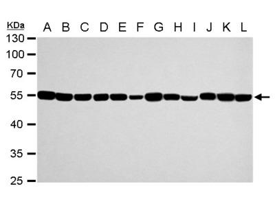 Anti-alpha Tubulin 1A antibody
