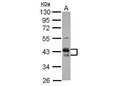 Anti-CD32B antibody [C2C3], C-term