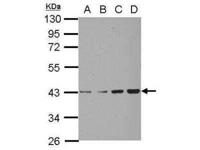 Anti-CHAD antibody