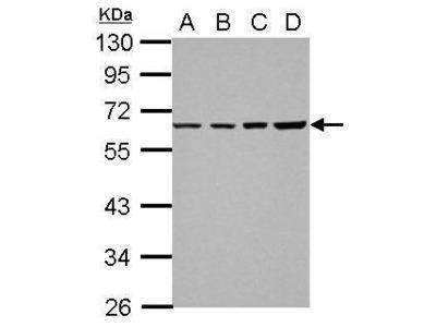 Anti-TR2 antibody