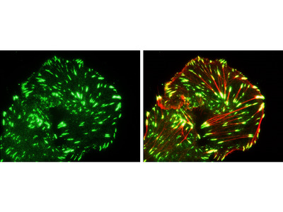Great Anti-Paxillin Antibody for Immunofluorescence