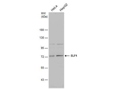 Anti-ELF1 antibody