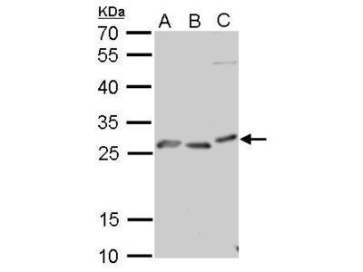 Anti-Prion Protein (PrP) antibody