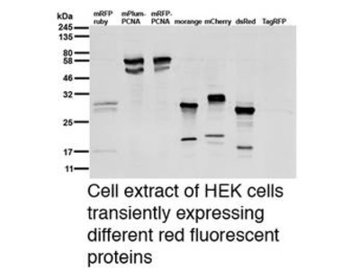 Anti RFP (Red Fluorescent Protein) antibody [6G6]