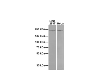 Anti Dnmt1 antibody