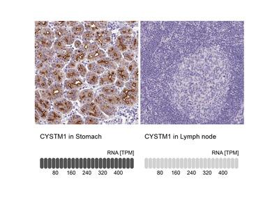 CYSTM1 Polyclonal Antibody