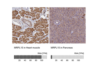 MRPL15 Polyclonal Antibody