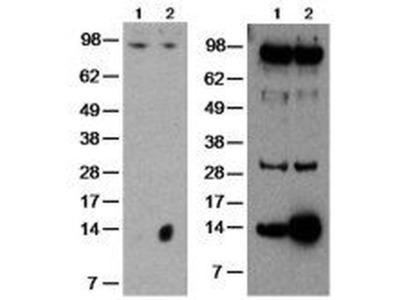GILZ Monoclonal Antibody (CFMKG15), eBioscience™