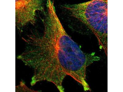 TTLL12 Polyclonal Antibody