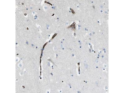 TRIM59 Polyclonal Antibody