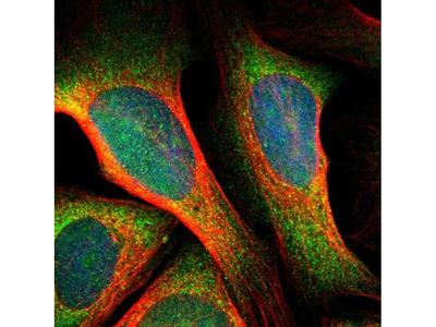 SRPK2 Polyclonal Antibody