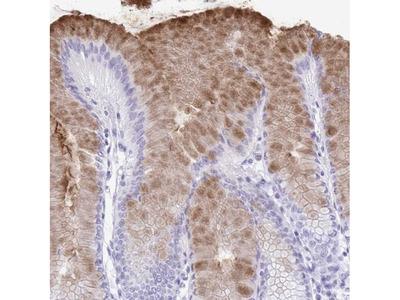 GKN2 Polyclonal Antibody