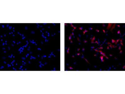 beta-3 Tubulin Monoclonal Antibody (2G10-TB3), eFluor 660, eBioscience™