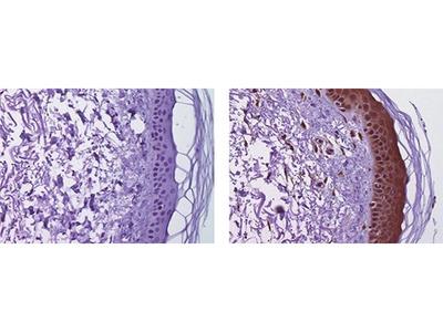 IL-38 Monoclonal Antibody (H127C), eBioscience™