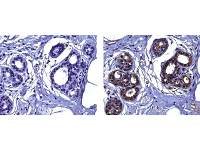 Snail1 Monoclonal Antibody (20C8), eBioscience™